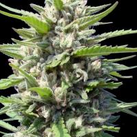 Northern Lights Auto Feminised Cannabis Seeds