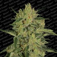 Nebula 11 CBD Feminised Cannabis Seeds | Paradise Seeds