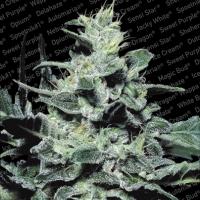 Nebula Feminised Cannabis Seeds | Paradise Seeds