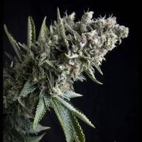 Auto Nefertiti Feminised Cannabis Seeds | Pyramid Seeds