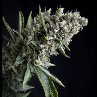 Auto Nefertiti Feminised Cannabis Seeds | Pyramid Seeds