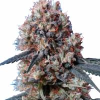 Nepal Jam x Kali China Feminised Cannabis Seeds | Ace Seeds