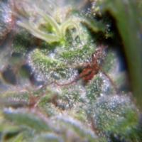 Buy Female Seeds Neville's Haze Feminised Cannabis Seeds