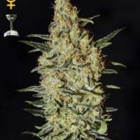 Neville's Haze Feminised Cannabis Seeds | Green House Seeds