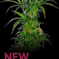 Michka Feminised Cannabis Seeds | Sensi Seeds