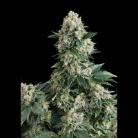 Auto New York City Feminised Cannabis Seeds | Pyramid Seeds