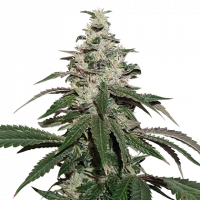 Nicole Cream Auto Feminised Cannabis Seeds | Seed Stockers