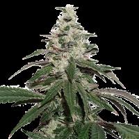 Nicole Cream Auto Feminised Cannabis Seeds | Seed Stockers