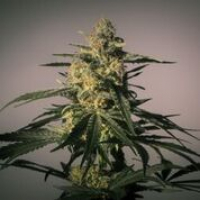 Nightingale Feminised Cannabis Seeds | MM Genetics