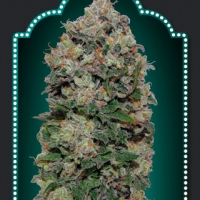 Northern Lights Feminised Cannabis Seeds | OO Seeds