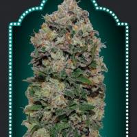 Northern Lights Feminised Cannabis Seeds | OO Seeds