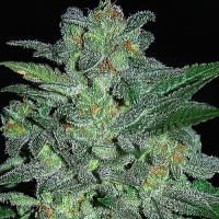 Northern Lights Feminised Cannabis Seeds | Expert Seeds