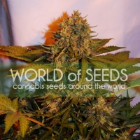 Northern Light x Big Bud Auto Feminised Cannabis Seeds | World of Seeds
