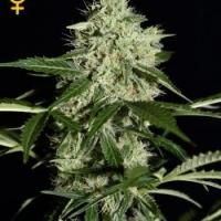 NL Automatic Feminised Cannabis Seeds | Green House Seeds