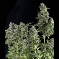 Auto Northern Lights Feminised Cannabis Seeds | Pyramid Seeds