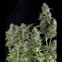 Auto Northern Lights Feminised Cannabis Seeds | Pyramid Seeds