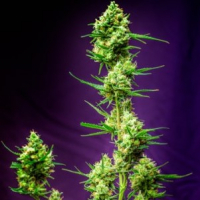 Nurse Jackie Regular Cannabis Seeds | TGA Seeds