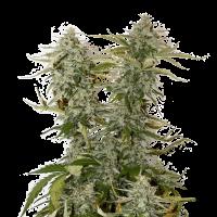 O.G. Candy Dawg Kush Auto Feminised Cannabis Seeds   Seed Stockers