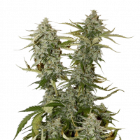 Candy Dawg Feminised Cannabis Seeds | Seed Stockers