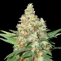 O.G. Kush Auto Feminised Cannabis Seeds   Seed Stockers