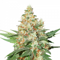 O.G. Kush Feminised Cannabis Seeds | Seed Stockers