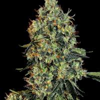 OG Kush Feminised Cannabis Seeds | White Label Seed Company