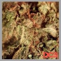 OG Kush Feminised Cannabis Seeds | Feminized Seeds