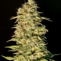 OG Lemon Bilbo Feminised Cannabis Seeds