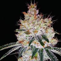 OGesus Auto Feminised Cannabis Seeds | Expert Seeds