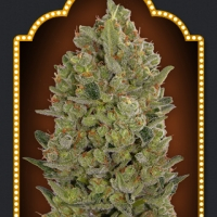 OO Hashchis Feminised Cannabis Seeds (Formerly OO Cheese) | OO Seeds