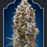 OO Kush Feminised Cannabis Seeds | OO Seeds