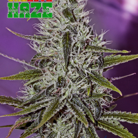 One Love Haze Feminised Feminised Cannabis Seeds | Positronics