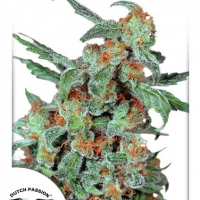 Orange Bud Feminised Cannabis Seeds | Dutch Passion