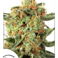 Orange Hill Special Regular Cannabis Seeds | Dutch Passion