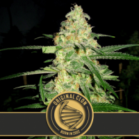 Original Clon Feminised Cannabis Seeds | Blim Burn Seeds