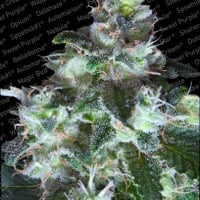 Original White Widow Feminised Cannabis Seeds | Paradise Seeds