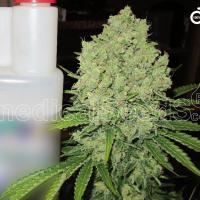 Prozack Feminised Cannabis Seeds