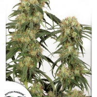 Pamir Gold Feminised Cannabis Seeds | Dutch Passion
