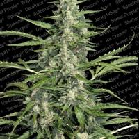 Pandora Feminised Cannabis Seeds | Paradise Seeds