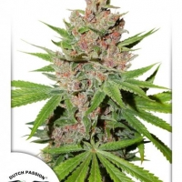 Passion Fruit Feminised Cannabis Seeds | Dutch Passion