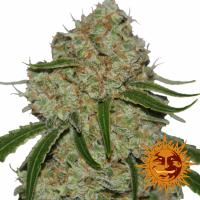 Phantom OG Feminised Cannabis Seeds | Barney's Farm