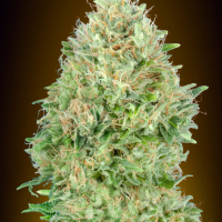 Pineapple Glue Feminised Cannabis Seeds | Advanced Seeds