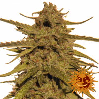 Pineapple Haze Regular Cannabis Seeds | Barney's Farm