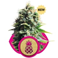Pineapple Kush Feminised Cannabis Seeds | Royal Queen Seeds