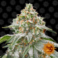 Pink Kush Feminised Cannabis Seeds | Barney's Farm