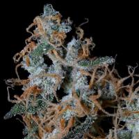 Platinum Cookies Feminised Cannabis Seeds | Big Head Seeds