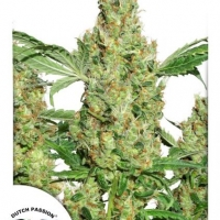 Power Plant Regular Cannabis Seeds | Dutch Passion