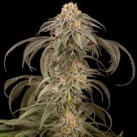 Purple Afghani Kush Feminised Cannabis Seeds - Dinafem Seeds