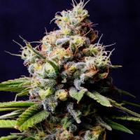 Purple Berry Kush Feminised Cannabis Seeds – Spliff Seeds