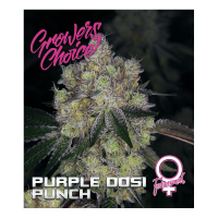 Purple Dosipunch Feminised Cannabis Seeds - Growers Choice